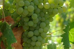 The Italian White Wine Series:  The Vermentino Grape
