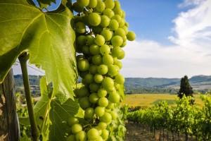 Gavi – a Great Spring & Summer White Wine