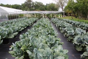 Rows of cruciferious veggies @Sweetgrass Farms