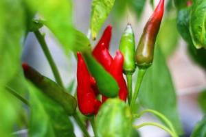 Fresh Mirasol Peppers